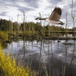 Goose flying over marshy lake using Scratch software