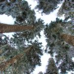 A view looking up at trees.