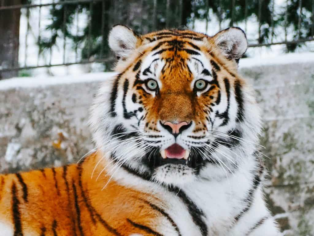 An orange, black and white lion.