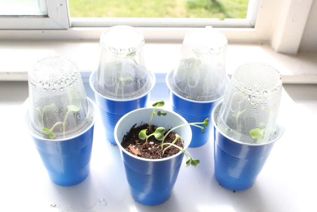 Vegetables growing in mini cups.