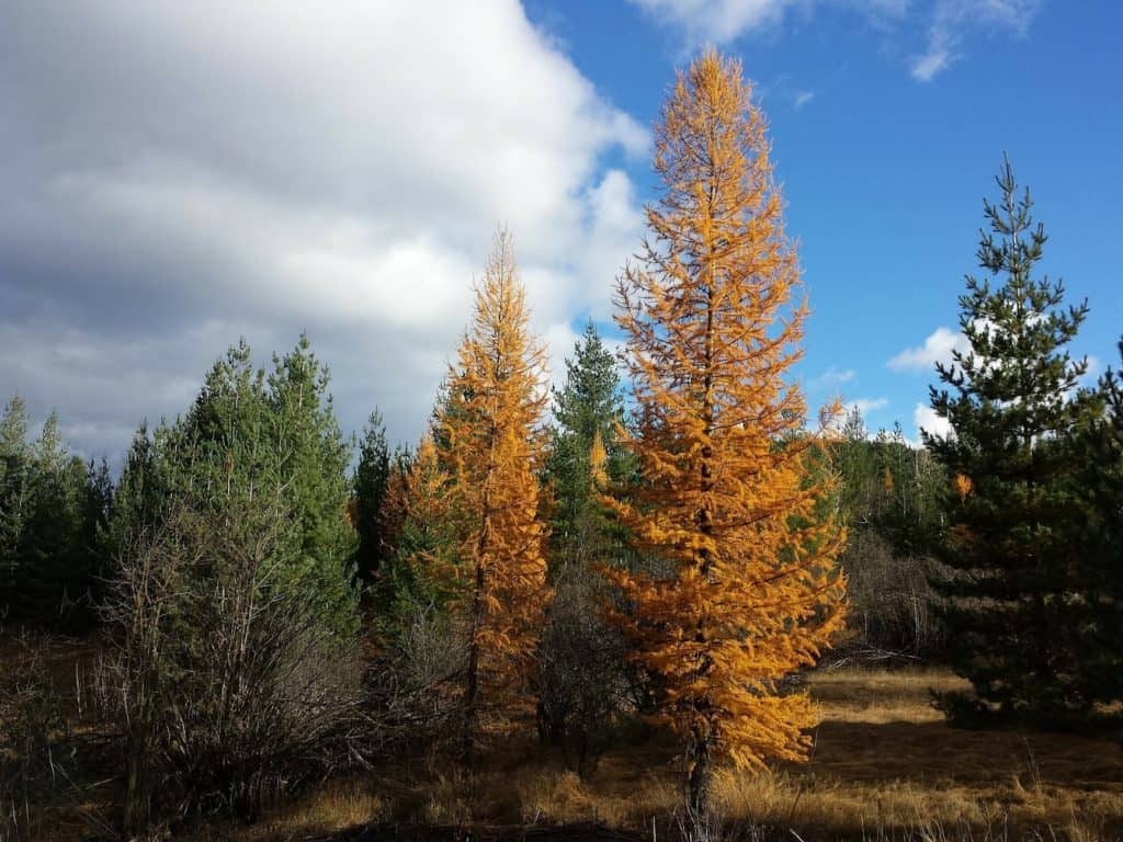 Tamarack trees in a forest.