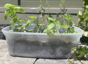Plants planted in a tupperware container, sitting outside getting some sun.